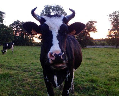 Vache à la ferme pédagogique