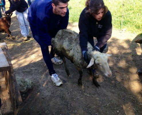Sauvetage mouton