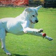 Dogue argentin blanc