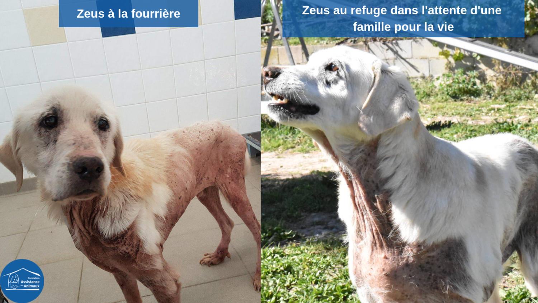 ZEUS - labrador 10 ns  (2 ans de refuge)  - Refuge de Carros (06) Zeus-a%CC%80-la-fourrie%CC%80re-1500x844