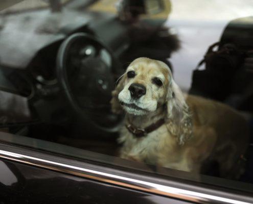 Chien laissé dans une voiture