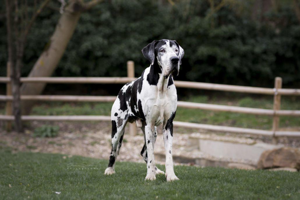 Il Y A 1 Mois L Equipe Protection Animale Prenait En Charge Des Dogues Allemands Ils Sont Aujourd Hui A L Adoption Fondation Assistance Aux Animaux Actualites